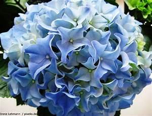 Hortensien Wann Pflanzen : hortensie hydrangea pflege pflanzen d ngen schnitt ~ Lizthompson.info Haus und Dekorationen