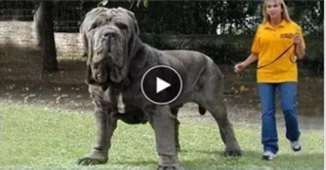 worlds largest dog