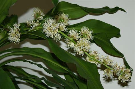 Dracaena Corn Plant Flower