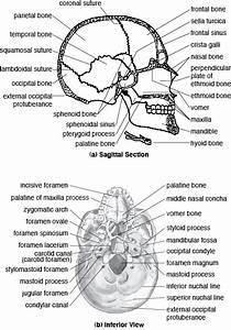 THE CRANIAL BONES image galleries - imageKB.com   Anatomy ...