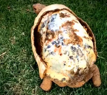 tartaruga terrestre alimentazione la prima tartaruga col carapace realizzato con stante