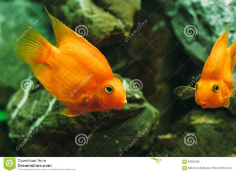 poissons d aquarium poisson photo stock image 69002330