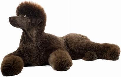 Grooming Standard Poodles Poodle Website Super Tips