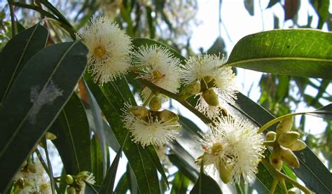 eucalyptus tree mosquito repellent how to make a eucalyptus tree mosquito repellent