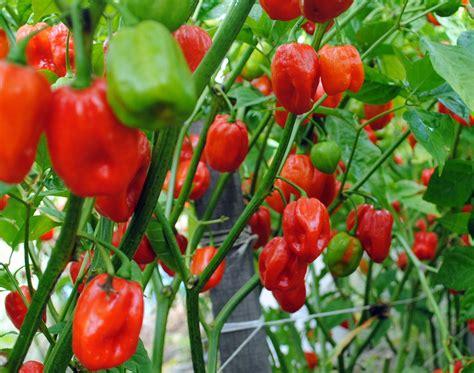 aji dulce spice pepper   southern exposure seed