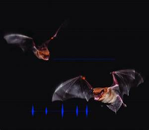 Two Big Brown Bats  Eptesicus Fuscus  Fly Together In A