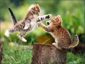 fighting cat cat fight cat animals photo gallery