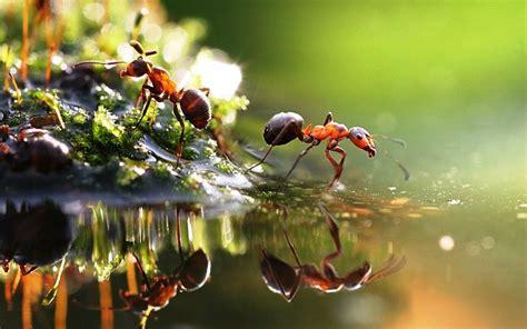gambar semut merah menyeberang fotografi makro pernik