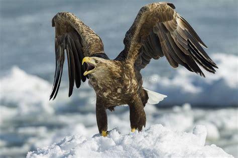 methods aim  deter uks largest bird  prey
