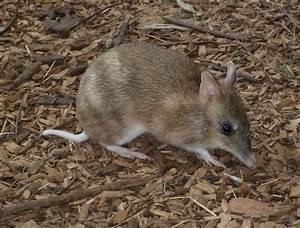 Bandicoot Facts, History, Useful Information and Amazing ...