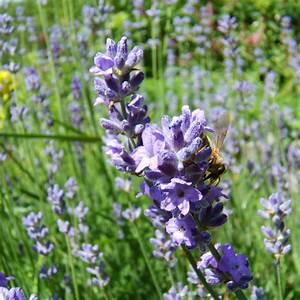 Lavendel Pflanzen Im Topf : lavandula officinalis pflanze im topf lavendel hof berg garten ~ Frokenaadalensverden.com Haus und Dekorationen