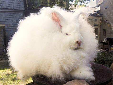 angora rabbit  learning