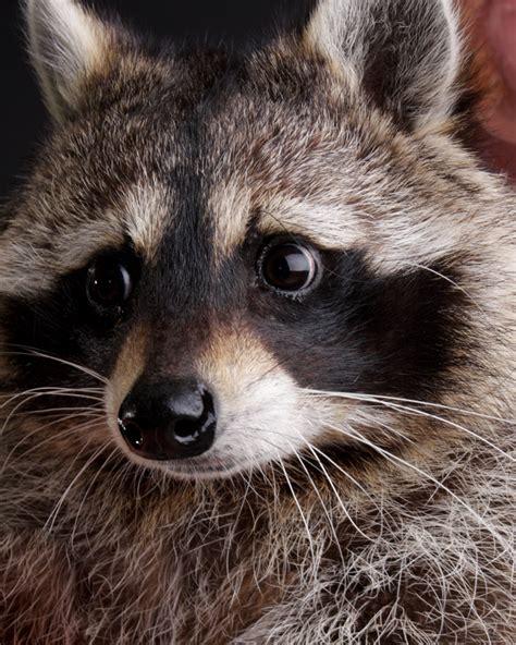 domesticated raccoon pet raccoon