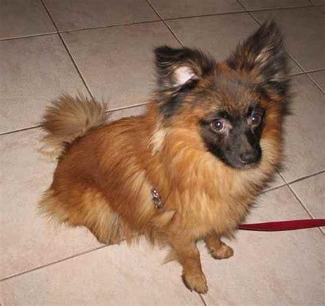 pekingese shedding dog breeds picture