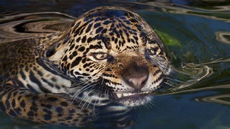 jaguar cat fantastic wacky weekend cats