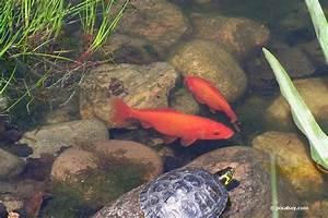 Goldfische Im Teich : goldfische schnappen nach luft das zeigen ihnen die fische damit an ~ Eleganceandgraceweddings.com Haus und Dekorationen