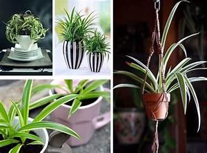 Plante D Intérieur : plante d 39 int rieur les bienfaits du chlorophytum ~ Dode.kayakingforconservation.com Idées de Décoration