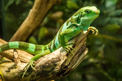 pet lizard parents never expected their son s pet lizard to do this what follows is hysterical