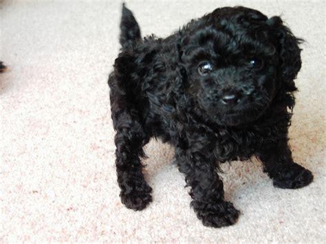 toy poodle puppy   black boy redcar north