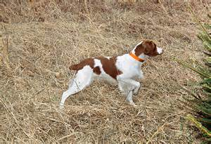 brittany spaniel hunting google search dog training