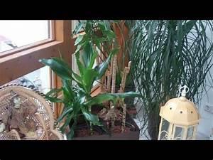 Drachenbaum Schneiden Video : drachenbaum schneiden und vermehren lilo siegel youtube ~ Watch28wear.com Haus und Dekorationen