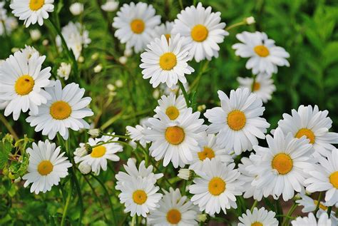 daisies flowers shasta daisies how to plant grow and care for daisy flowers the old farmer s almanac