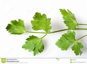 Flat-leaf Italian Parsley Herb Royalty Free Stock Image ...