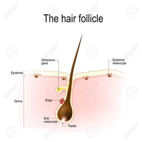 Limitations of human occipital scalp hair follicle organ