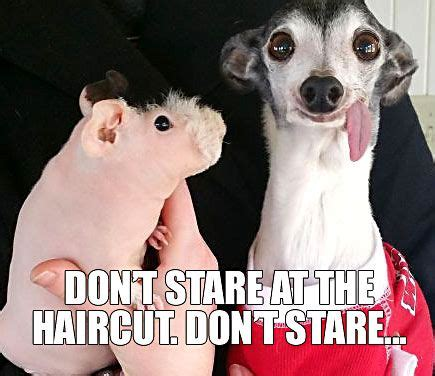 Shaved Guinea Pig Meme - so there was this guinea pig who got shaved memes guinea pigs pinterest memes funny