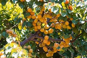 Apricot Tree – Toxic Plant of the Week   The Equinest