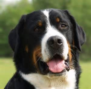 Brown Black and White Dog Breeds