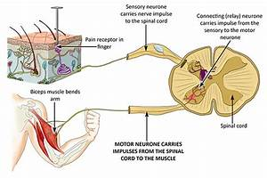 Motor Neurones  Sensory Neurones And Relay Neurones
