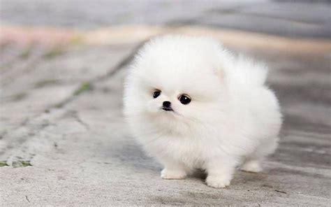 teacup pomeranian husky puppies cute micro white wallpaper ...