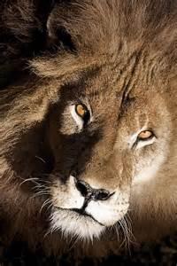 Lions Animals