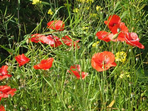 growing poppies panoramio photo of poppies growing on banks of liffey dublin