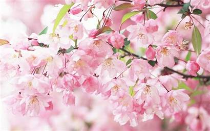 Peach Flowers Wallpapers Definition Computer