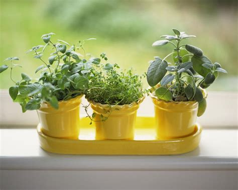 herbs oregano indoors potted growing grow windowsill yellow sage thyme garden sunny pots filters baigrie bank james getty strip thespruce