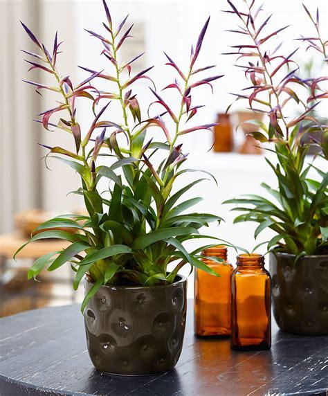 buy house plants  tillandsia mora bakkercom