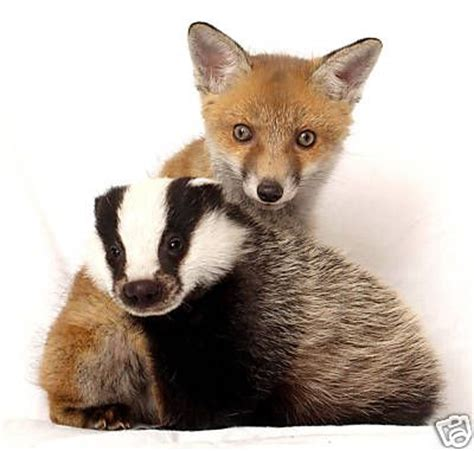 Fox And Badger  Beautiful Friendships Pinterest