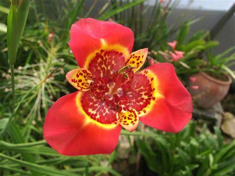 tiger flower tigridia pavonia tiger flower iridaceae images