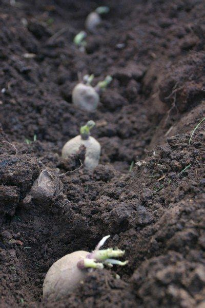 how to potatoes from garden growing potato plants information on planting depth of
