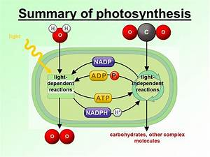 What Happens In The Light Dependent Reactions Of