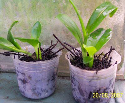 Pot Anggrek Plastik kompot komonitas pot effektif anggrek dendrobium