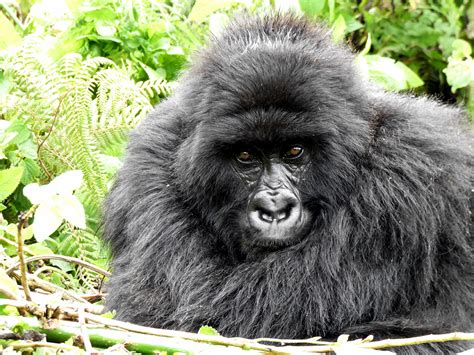unhabituated gorilla joins monitored group dian fossey