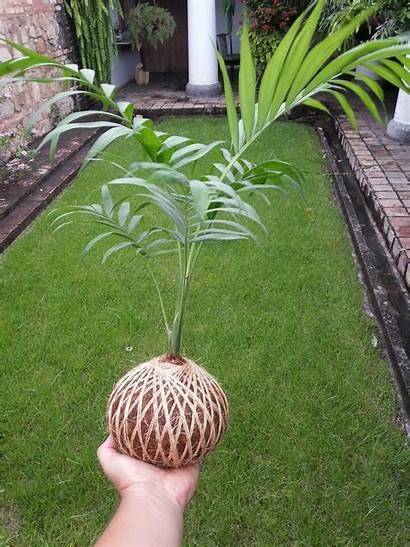 Plants Garden Kokedama Hydroponic