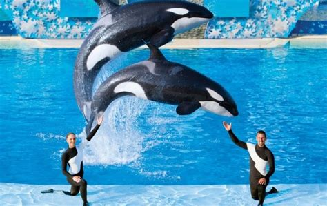 Seaworld Announces End To Captive Orca Whale Breeding