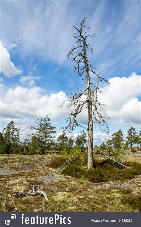 plants dead pine tree stock picture   featurepics