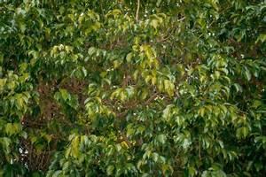 Ficus Benjamini Pflege Gelbe Blätter : ficus benjamini bekommt gelbe bl tter woran liegt 39 s ~ Lizthompson.info Haus und Dekorationen