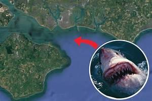 Shark Uk  Great White Sharks Will Migrate To Seas Near