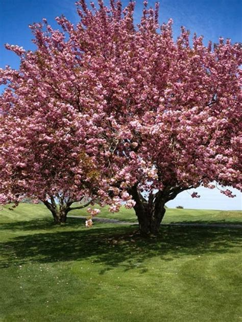 images flowering trees buy flowering trees online the tree center